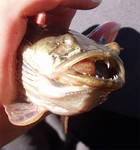 An enlarged swim bladder from a deepwater fish