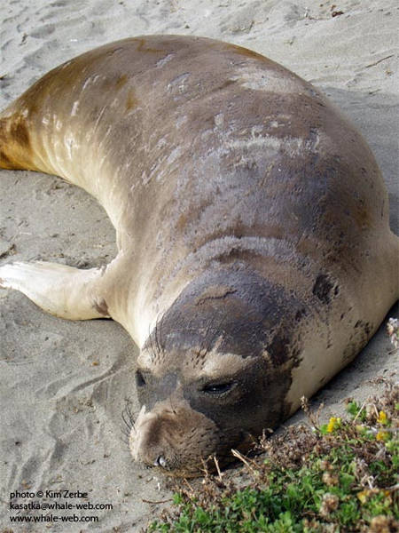 A young seal napping