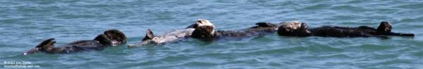 A raft of otters in Morro Bay =D