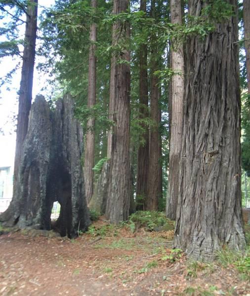 The UCSC Tree.