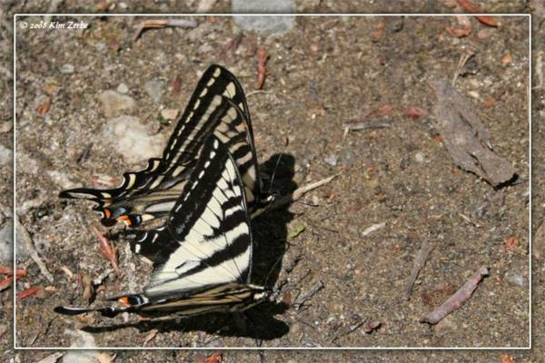 butterfly-flirting