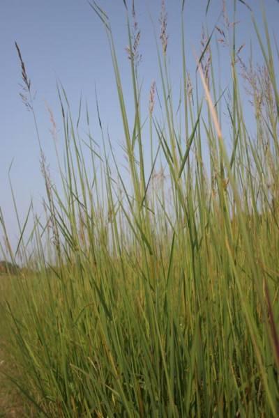 Grasses in Mongolia