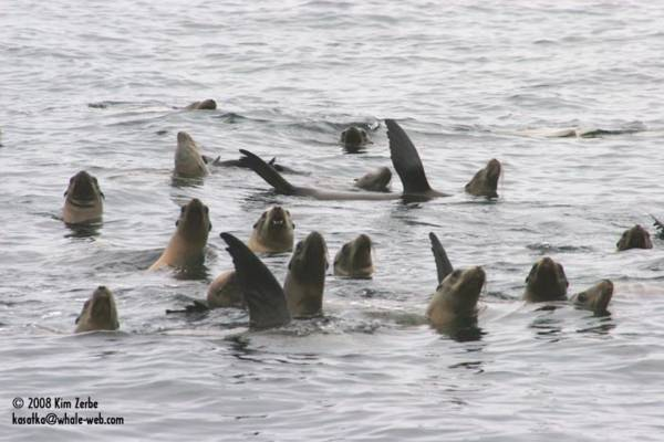 Sealions thermo regulating