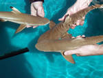 Blacktip reef shark pups