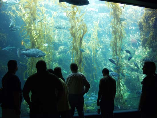 Kelp forest tank, with live kelp =)