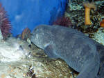 Wolf eels are groovy