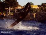 pilotwhale-bubbles.jpg
