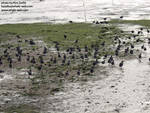 The coots made loud slurpy noises as they dashed through the mud =D