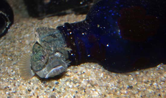 Sarcastic fringehead! I think the camera was having focusing issues.