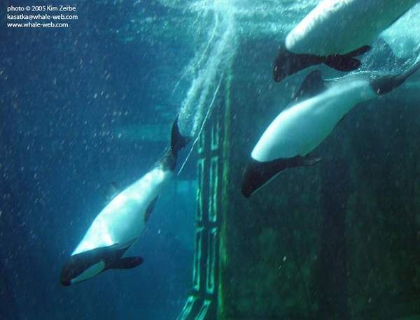 Commerson's dolphins completing a bow