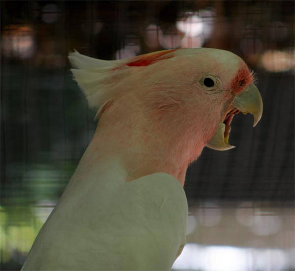 Major Mitchell's Cockatoo yawning =D